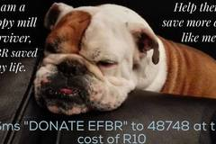 Bookable Offer: English & French Bulldog Rescue - Cape Town, South Africa