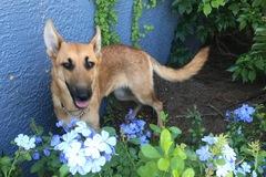 Request Quote: Big Cypress German Shepherd Rescue - Naples, FL