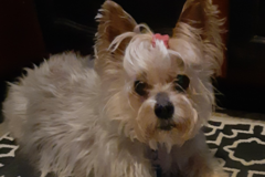 Request Quote: Accent Pets, Stressless Dog Grooming - Jefferson City, MO