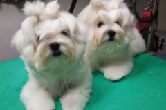 Request Quote: A Dogs Domain mobile small dog grooming - Jacksonville, FL