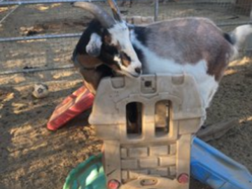Grover Goat, place training