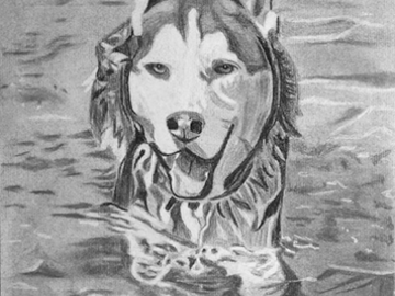 Husky swimming charcoal