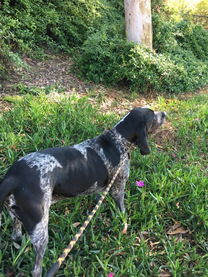 Billy a Blue tick Coonhound