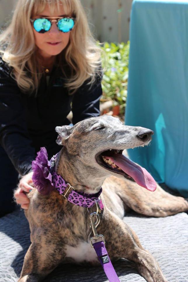 A greyhound loving her massage