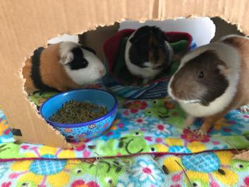 Guinea Pig Girls