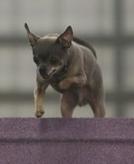 Uintah, a purebred Chihuahua, competing in TDAA.