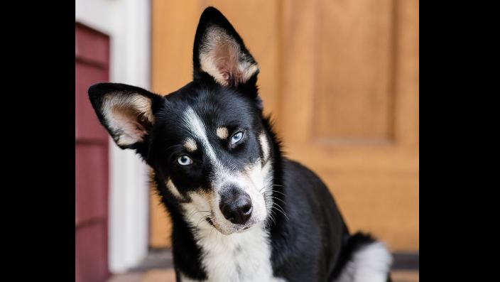 Mixed breed Husky blue eye