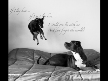 Flying small dog and Boxer on bed