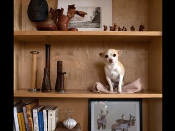 Chihuahua on a bookshelf