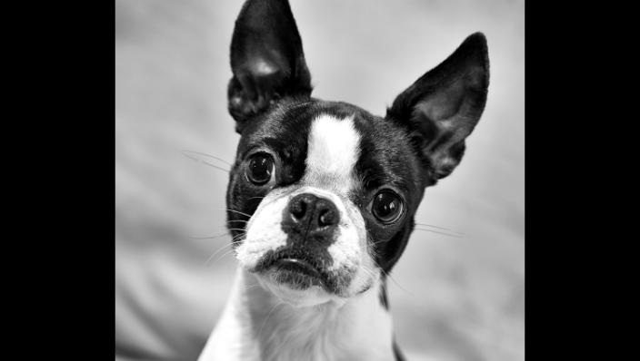 Boston Terrier solo portrait head tilted