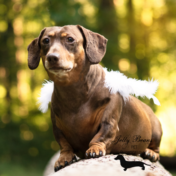 Photo of a short haired dachshund on a log with angel wings, taken at Brook Run Park