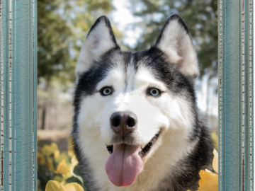 Photo of a Husky in a green frame, surrounded by daffodils