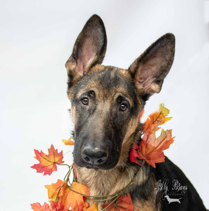 Photo of a German Shepherd puppy on a white background
