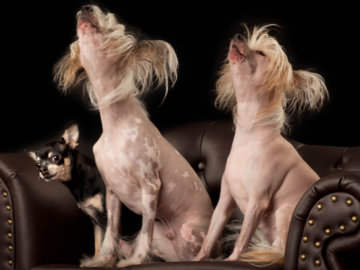 Chinese Crested Hairless and a Chihuahua
