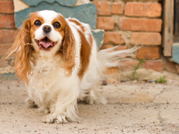 Brown and white dog smiling at camera