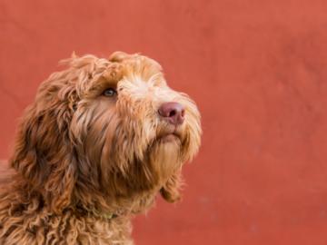 Golden dog against orange background