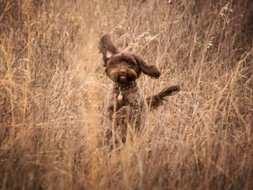 Small brown dog jumping through grass