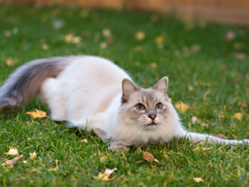 Gray and white cat playing in grass