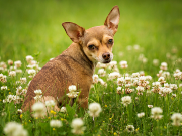 Small brown dog sitting in clovers