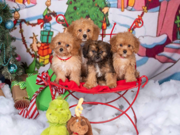 """""""Cavapoo Pups"""" in our Whoville scene. We have many holiday pet portraits! www.On-SitePhotography.com"""