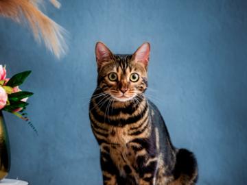 A beautiful Bengal cat in the studio