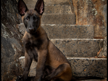 A fine looking Belgian Malinois Pup