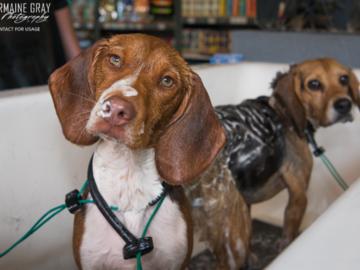 Bathing Beagles