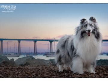 Bi-blue Sheltie, from a long line of winning show dogs