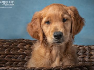 Golden Retriever Pup, he now surfs!