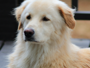 Family Pet Dog