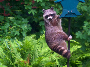 A Rather Bold Raccoon.