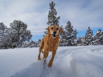 Lab retriever running through snow