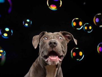 Pit bull and bubbles