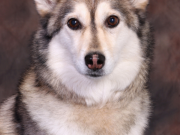 A Husky