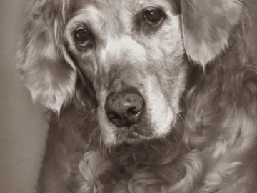 A portrait of a senior dog