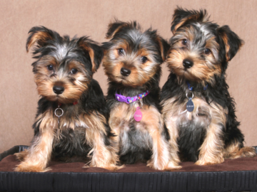 A portrait of 3 puppies