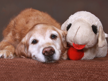 A portrait of a senior dog with his stuffed animal
