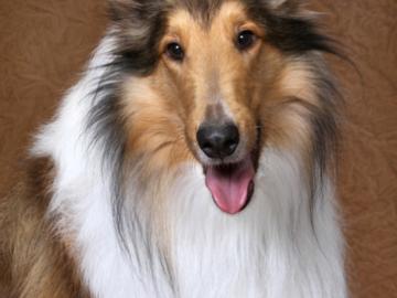 A portrait of a Collie