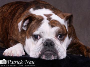 A portrait of a resting Bulldog