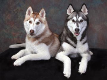A portrait of two Huskies