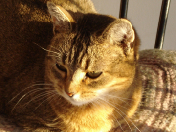 Abyssinian house cat