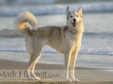 Akita dog on beach