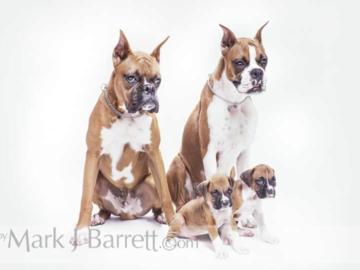 Boxer family portrait