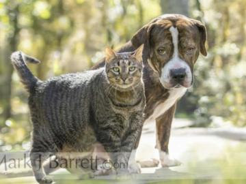 Tabby cat and Bulldog pals