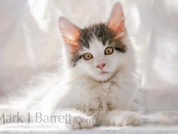 Maine Coon cat kitten