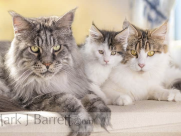 Maine Coon cat family