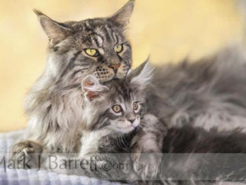 Male Maine Coon with kitten