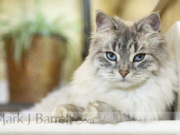 Female Siberian Cat
