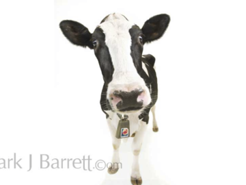 Dairy Cow pet