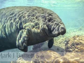 Manatee in Spring Water